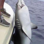 Shark Catch in Bahamas