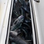 Full Tank of Black Sea Bass