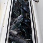 Full Tank of Black Sea Bass