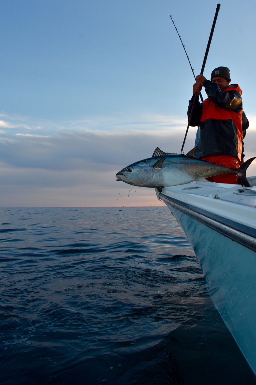 Cape cod tuna being released reel deal fishing charters for Cape cod fishing charters