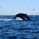 Whale Jumping Out of Water for Dive
