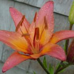 Rain Drops on a Flower in July