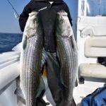 Man Holding Two Large Striped Bass