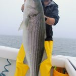 Holding Striped Bass in Cape Cod