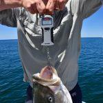 Man Weighing 40 Pound Striped Bass