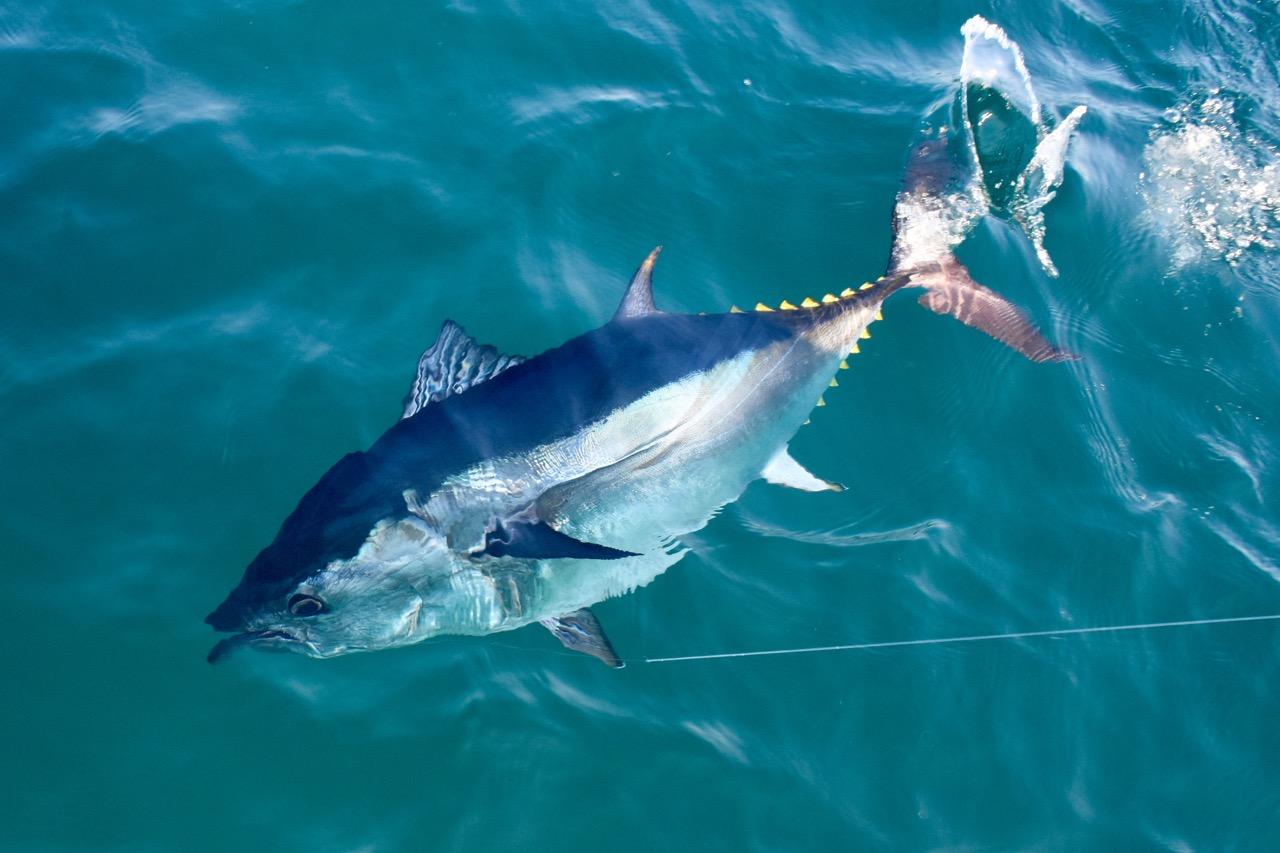 Fisherman with bluefin tuna reel deal fishing charters for Bluefin tuna fishing