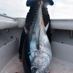Large Cape Cod Tuna