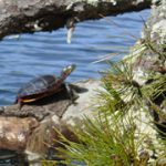 Turtles by the Water